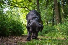 El perro negro está mordiendo la ramita en el bosque verde Fotografía de archivo