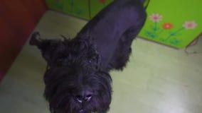 El perro negro está raspando en casa