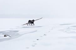 El perro negro que juega en el terraplén nevoso Imagen de archivo
