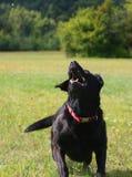 El perro negro salta Fotos de archivo libres de regalías