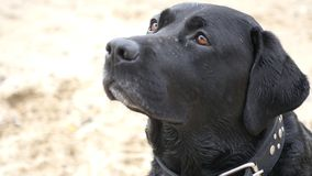 El perro negro se sienta y las miradas cuidadosamente, los lickens, esperas para la comida, HD fotos de archivo