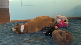El perro no cabe Fotos de archivo libres de regalías
