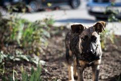 El perro o el perrito marrón joven sin hogar le mira fotos de archivo