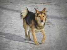 El perro Outbred de la calle corre abajo de la calle foto de archivo libre de regalías