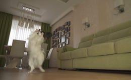 El perro Papillon camina en sus piernas traseras y danzas en sala de estar fotos de archivo