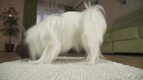 El perro Papillon está jugando con un juguete suave en la manta en vídeo de la cantidad de la acción de la sala de estar metrajes