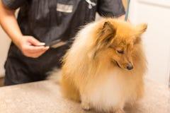 El perro pastor de Shetland se sienta en la tabla en una sala del perro Fotos de archivo libres de regalías