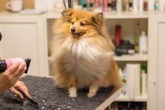 El perro pastor de Shetland se sienta en la tabla en una sala del perro Imagen de archivo libre de regalías