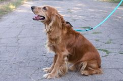 El perro pelirrojo cocker spaniel se sienta en la carretera de asfalto con el correo y mira en el primer de la distancia imagenes de archivo