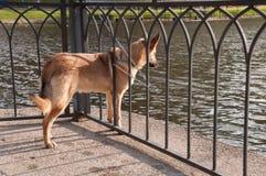 El perro pelirrojo en la cadena mira el agua Fotos de archivo libres de regalías