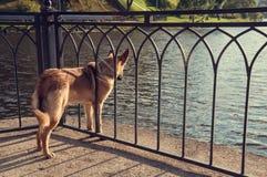 El perro pelirrojo en la cadena mira el agua Fotos de archivo