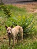 El perro perdido amarillo Foto de archivo