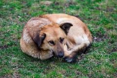 El perro perdido hambriento duerme en la hierba verde fotografía de archivo