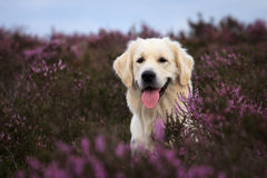 El perro perdiguero de oro adentro amarra Fotos de archivo