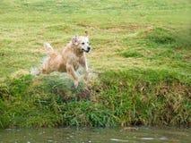El perro perdiguero de oro GR persigue el salto en la charca Imagenes de archivo