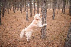El perro perdiguero en el bosque del otoño descansó sus patas en un árbol Foto de archivo libre de regalías