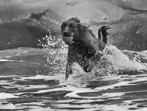 El perro perdiguero limita a través de la resaca Fotografía de archivo libre de regalías