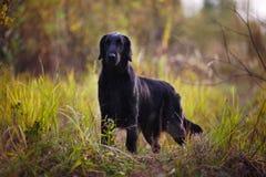 El perro perdiguero negro se coloca entre hierba del otoño Imagen de archivo