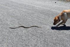 El perro persigue la serpiente Imagen de archivo