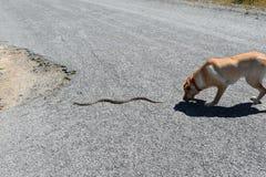 El perro persigue la serpiente Fotos de archivo