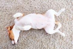 El perro puesto encendido apoya desde arriba Foto de archivo
