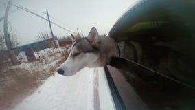 El perro que mira el mundo de una ventanilla del coche La huelga intermitente del coche en un camino de la nieve metrajes