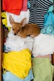 El perro que ocultó en el pecho Fotos de archivo libres de regalías