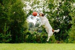 El perro que salta arriba para coger la bola del baloncesto foto de archivo