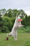 El perro que salta para el disco volador Foto de archivo