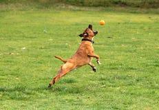 El perro que salta para una bola Foto de archivo libre de regalías