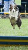 El perro que salta sobre cañizo Imágenes de archivo libres de regalías
