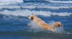 El perro que salta sobre ondas en el mar Fotos de archivo libres de regalías