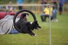 El perro que salta a través de aro de la agilidad foto de archivo