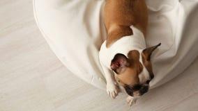 El perro raspa un dogo francés descontentado que raspaba en casa en un blanco sunbed en un interior brillante almacen de video