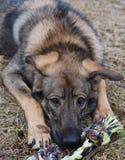El perro roe un juguete Imagenes de archivo