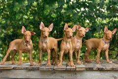 El perro rojo del pharaoh rojo del perrito en la naturaleza linda foto de archivo