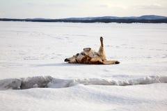 El perro rojo se baña en la nieve Imagenes de archivo