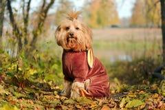 El perro rojo se está sentando en el sol Foto de archivo libre de regalías