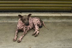 El perro rosado manchado Imagen de archivo