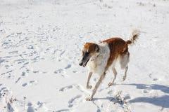 El perro ruso del galgo ruso corre a través de un campo nevoso en invierno foto de archivo