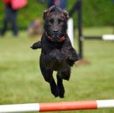El perro salta Foto de archivo