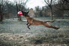 El perro salta alto y juegos en disco volador Imagenes de archivo