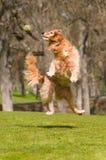 El perro salta para coger la bola Imagen de archivo libre de regalías