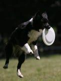 El perro salta para el disco volador Imagen de archivo libre de regalías