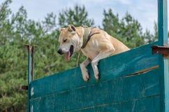 El perro salta sobre barrera del obstáculo El día laborable en el sitio de entrenamiento imagen de archivo libre de regalías