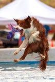 El perro salta sobre la piscina para el juguete Foto de archivo libre de regalías