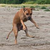 El perro salta y guarda Foto de archivo