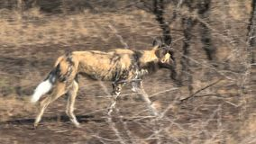 El perro salvaje africano se coloca en la sabana almacen de video