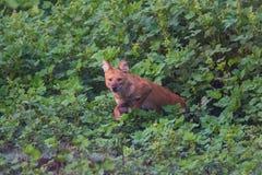 El perro salvaje salta adelante Fotografía de archivo