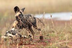 El perro salvaje y el x28 africanos; Pictus& x29 de Lycaon; con una rama seca en la boca Fotos de archivo libres de regalías